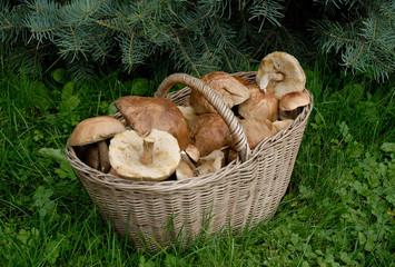 mushrooms, grzyby