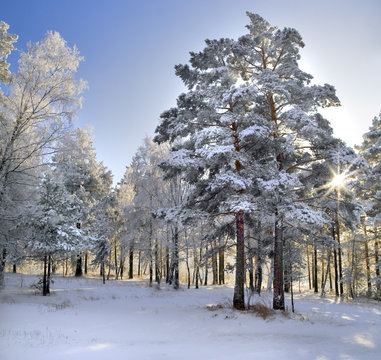miracle winter forrest