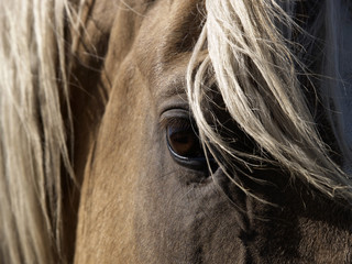 A close-up of a palomino horse's eye.
