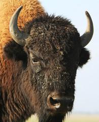 Close-up buffalo