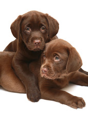 Puppies on a white background.