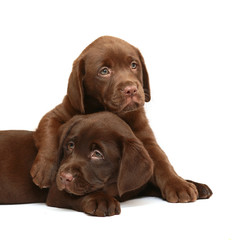 Two puppies Labrador retriever on a white background.