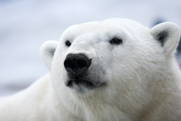 Polar bear. Portrait