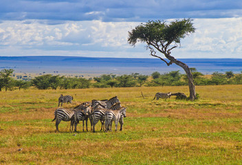 Zebras im Massai Mara