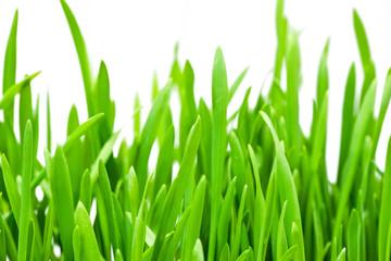 Spring grass close up
