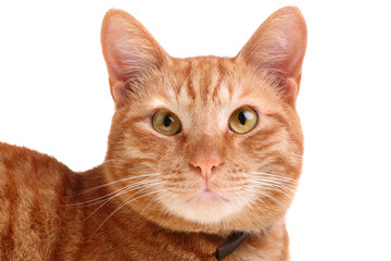 beautiful red cat looking straight ahead