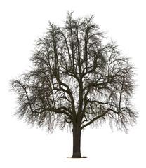 Isolated Pear Tree