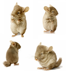chinchilla sequence shot isolated