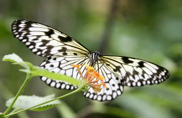 papillon dans la nature