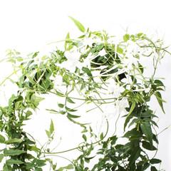 Jasmin Pflanze Blume