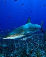 Caribbean Reef Shark and Remora
