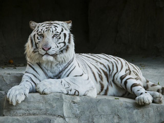 White Tiger Close Up2