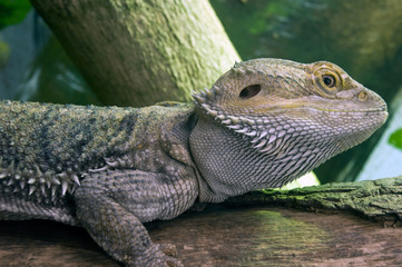The Eastern Bearded Dragon