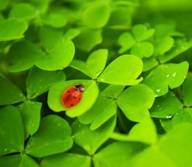 Ladybug sitting on clover leaf