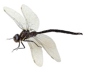 Black green dragonfly