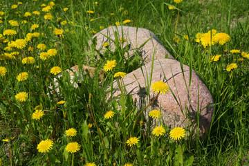 Dandelions and stones