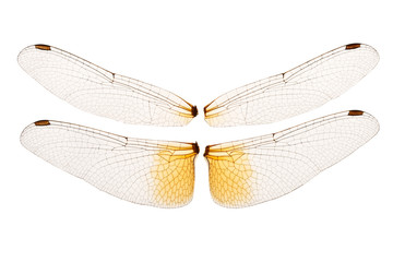 Wings of a dragonfly