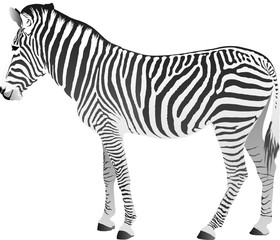Vector illustration of zebra isolated over white
