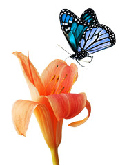 Day lily and blue butterfly