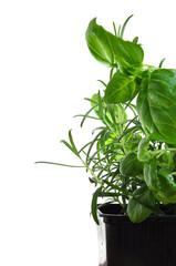 Herbs basil and rosemary isolatedo on white background.