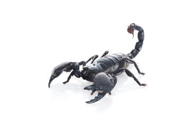 """P. Imperator """"Emperor"""" Scorpion"""