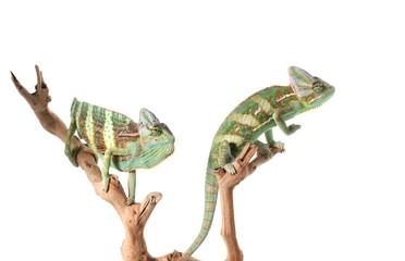 Pair Veiled Chameleons