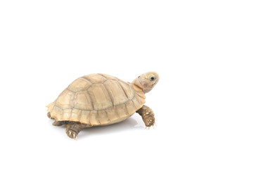 Ivory African Spurred Tortoise (Geochelone sulcata)