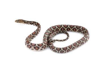 Mexican Night Snake