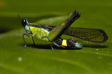 Greenish Blueigh Monkey Grasshopper