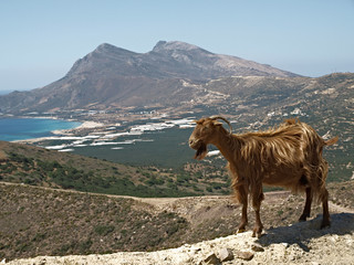 Ziege auf Kreta