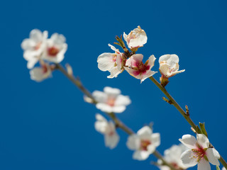 flowers on branches of almond