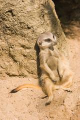 Meerkat or mongoose