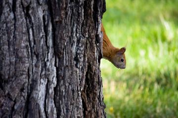 Squirrel Peeking behind a Tree
