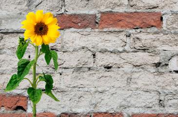 Sunflower over brick wall