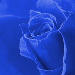 Blue rose close-up