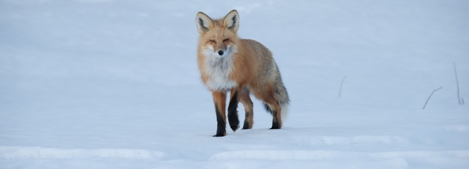 Fox hunting in the snow