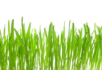 Fresh spring grass on white isolated background, macro