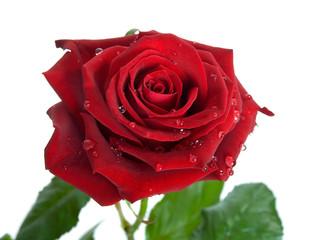 rosebud on a white background.