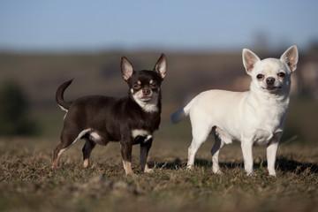 deux chihuahuas de profil dans la même position ; mimétisme