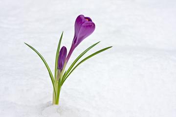 Poster Krokussen lila Krokus durchbricht den Schnee
