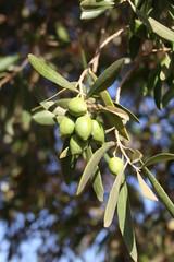 Grapes on tree
