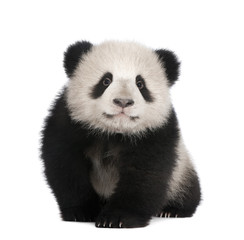 Photo sur Aluminium Panda Giant Panda (6 months)