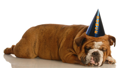 bulldog stretched out sleeping wearing funny dunce cap