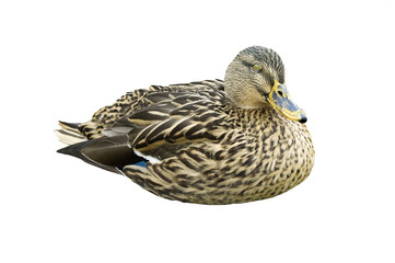 Female Mallard isolated on a white background