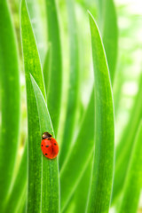 Ladybug sitting on a green grass (shallow DoF)
