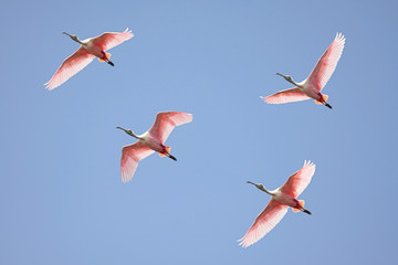 Fotoväggar - Roseate Spoonbills In Flight