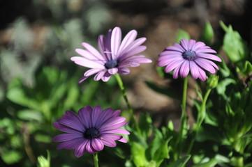 Osteospermum Nasinga Purplem African Daisy  Purple Flower