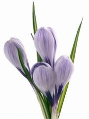 crocus lila flowers posy