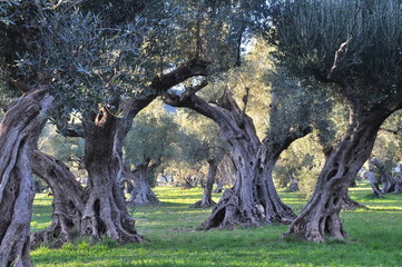 Photo sur Aluminium Oliviers oliviers provence