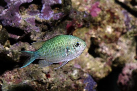 colorful fish, blue green chromis - chromis viridis